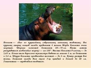 Бегемот— одно из крупнейших современных наземных животных. Вес крупных стары