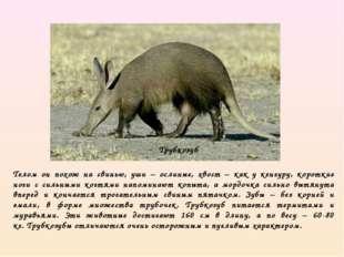 Телом он похож на свинью, уши – ослиные, хвост – как у кенгуру, короткие ноги
