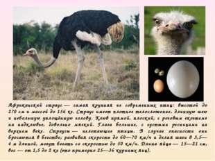Африканский страус— самая крупная из современных птиц: высотой до 270см и м