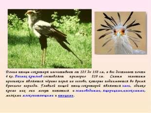 Длина птицы-секретаря насчитывает от 125 до 150см, а вес достигает почти 4к