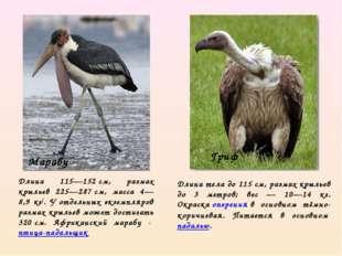 Длина 115—152см, размах крыльев 225—287см, масса 4—8,9 кг[. У отдельных экз