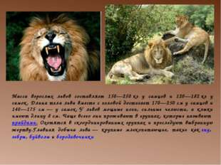 Масса взрослых львов составляет 150—250кг у самцов и 120—182кг у самок. Дли