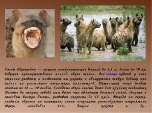 Гиены(Hyaenidoe) — хищные млекопитающие длиной до 1,5 м, весом до 70 кг, вед