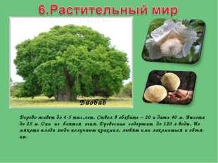 Дерево живет до 4-5 тыс.лет. Ствол в обхвате – 20 и даже 40 м. Высота до 25 м