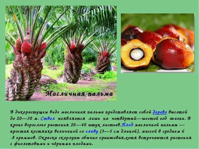 В дикорастущем виде масличная пальма представляет собойдеревовысотой до 20—...
