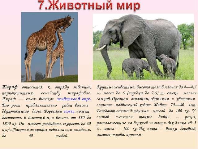 Жираф относится к отряду жвачных парнокопытных, семейству жирафовые. Жираф —...