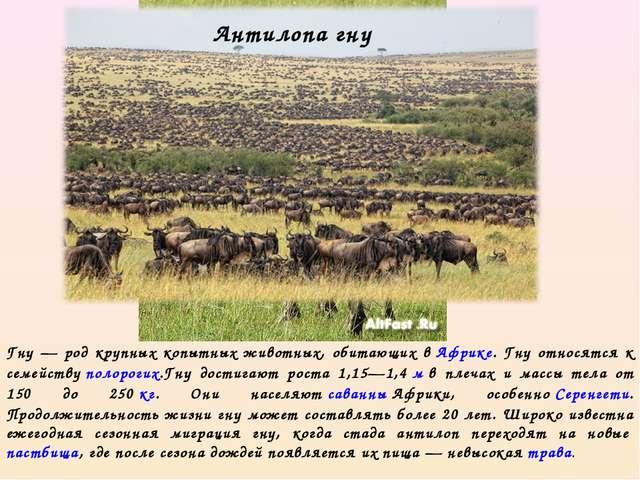 Гну — род крупных копытных животных, обитающих вАфрике. Гну относятся к семе...