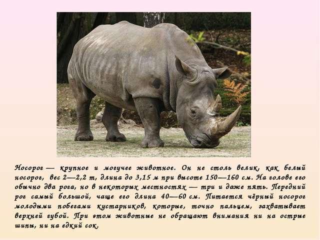 Носорог— крупное и могучее животное. Он не столь велик, как белый носорог, ...