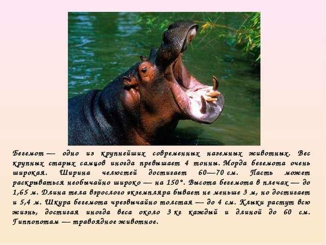 Бегемот— одно из крупнейших современных наземных животных. Вес крупных стары...