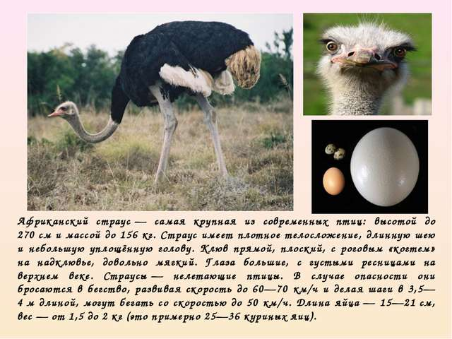 Африканский страус— самая крупная из современных птиц: высотой до 270см и м...