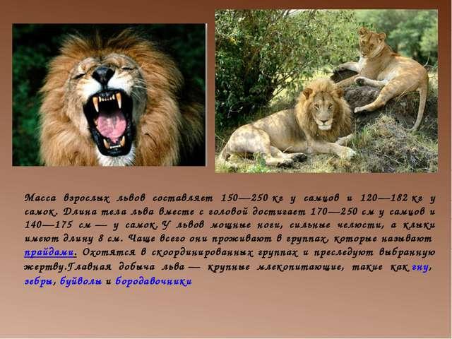 Масса взрослых львов составляет 150—250кг у самцов и 120—182кг у самок. Дли...