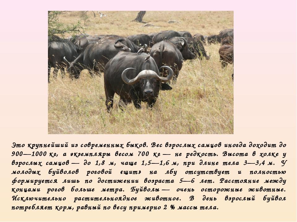 Это крупнейший из современных быков. Вес взрослых самцов иногда доходит до 90...
