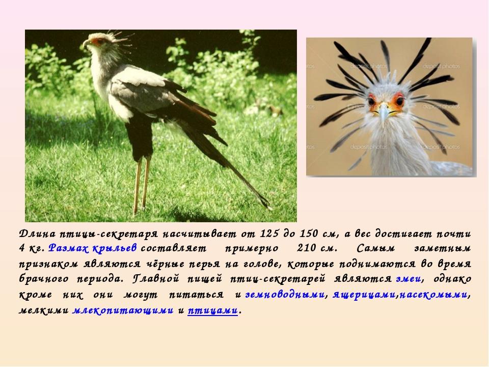 Длина птицы-секретаря насчитывает от 125 до 150см, а вес достигает почти 4к...