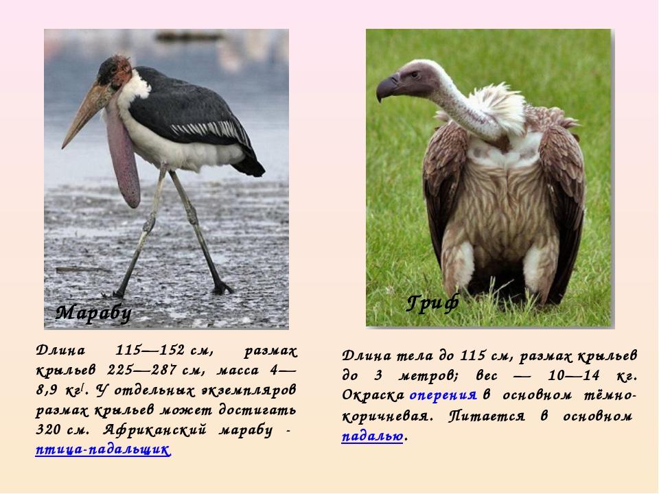 Длина 115—152см, размах крыльев 225—287см, масса 4—8,9 кг[. У отдельных экз...