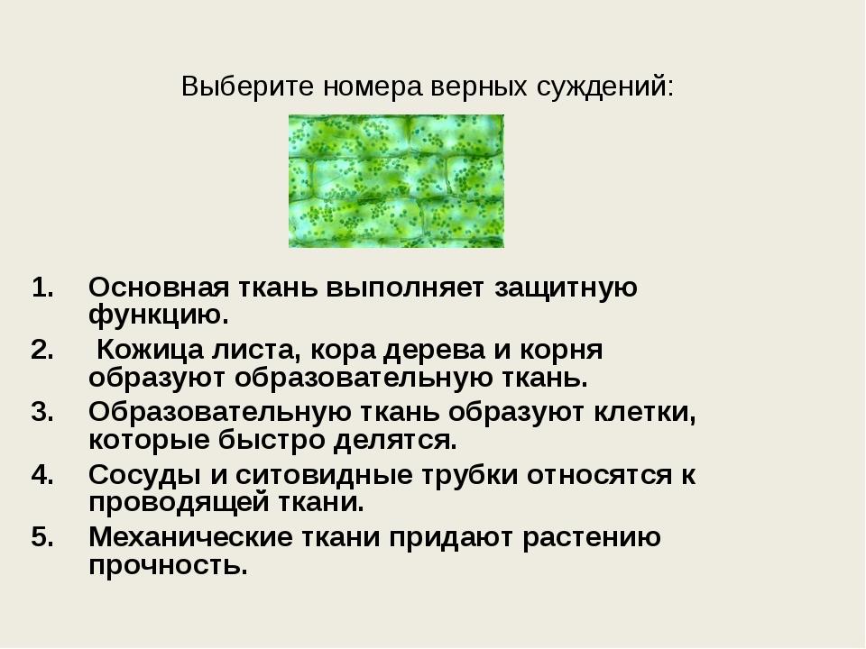 Выберите номера верных суждений: Основная ткань выполняет защитную функцию. К...