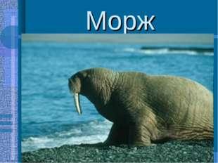 Морж -крупное ластоногое млекопитающее(3-4м.,450-500кг.) -характерная особенн