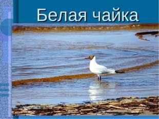 Белая чайка -круглый год живёт в Заполярье -быстро летает,хорошо ходит и бега