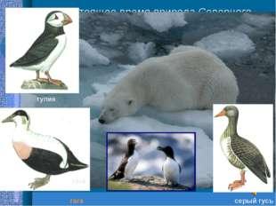 В настоящее время природа Северного Ледовитого океана нуждается в бережном от