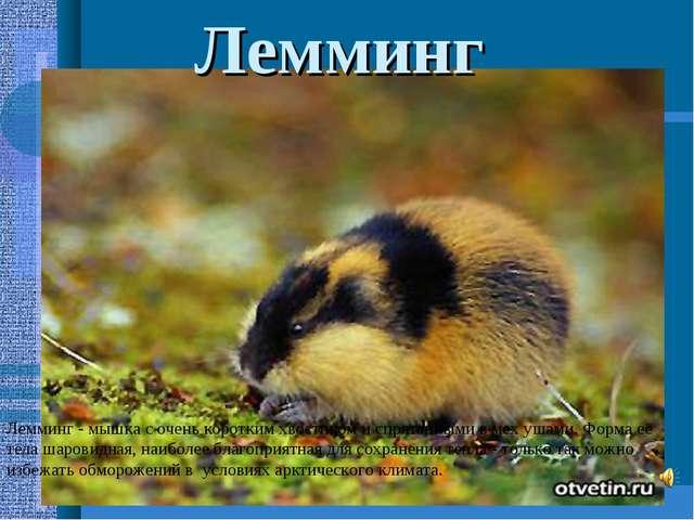 Лемминг - мышка с очень коротким хвостиком и спрятанными в мех ушами. Форма е...
