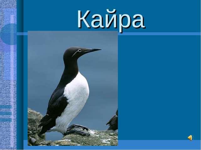 Кайра -самые распространённые обитательницы птичьих базаров -образуют плотные...