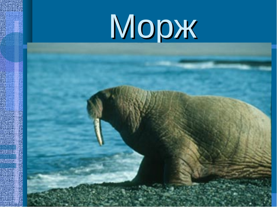 Морж -крупное ластоногое млекопитающее(3-4м.,450-500кг.) -характерная особенн...