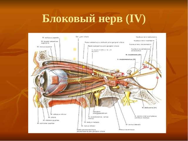 Блоковый нерв (IV)