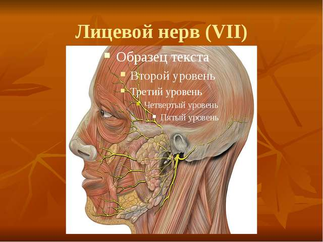 Лицевой нерв (VII)