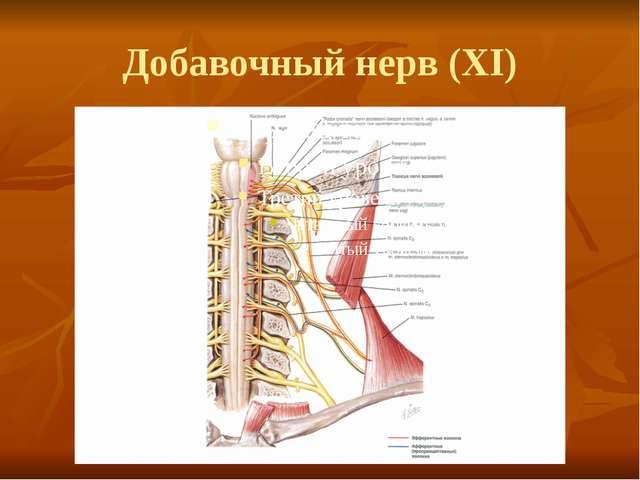 Добавочный нерв (XI)