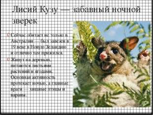 Лисий Кузу — забавный ночной зверек Сейчас обитает не только в Австралии — бы