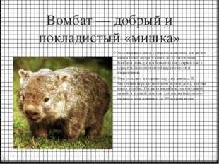 Вомбат — добрый и покладистый «мишка» Это очаровательное сумчатое животное до