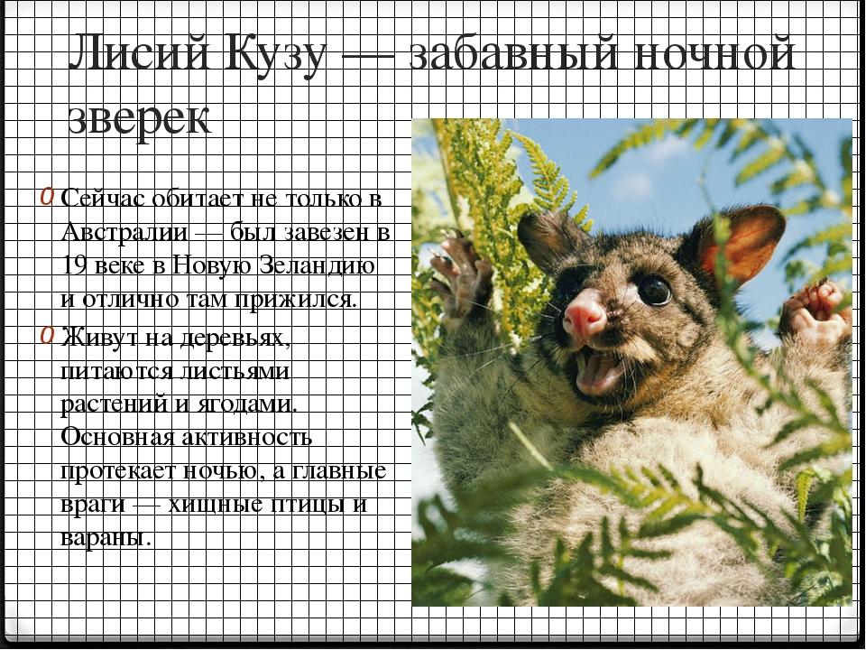 Лисий Кузу — забавный ночной зверек Сейчас обитает не только в Австралии — бы...