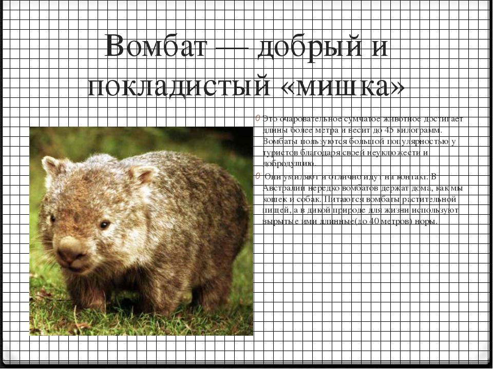 Вомбат — добрый и покладистый «мишка» Это очаровательное сумчатое животное до...
