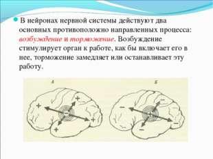В нейронах нервной системы действуют два основных противоположно направленных