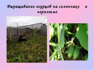 Выращивание огурцов на солончаке и черноземе