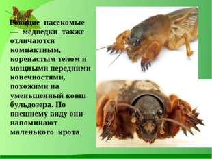 Роющие насекомые — медведки также отличаются компактным, коренастым телом и