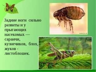 Задние ноги сильно развиты и у прыгающих насекомых — саранчи, кузнечиков, бл