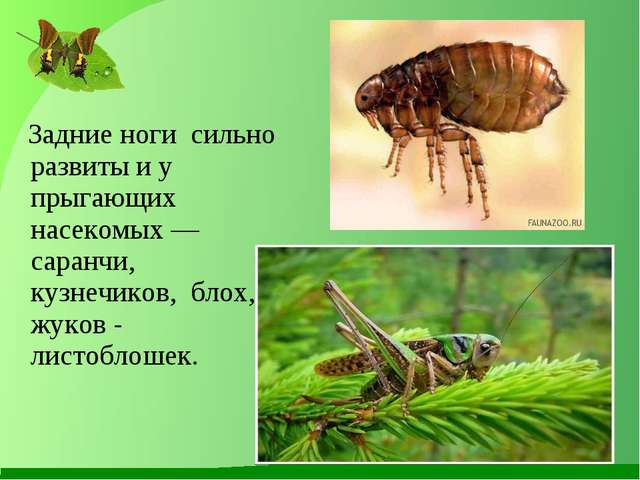 Задние ноги сильно развиты и у прыгающих насекомых — саранчи, кузнечиков, бл...