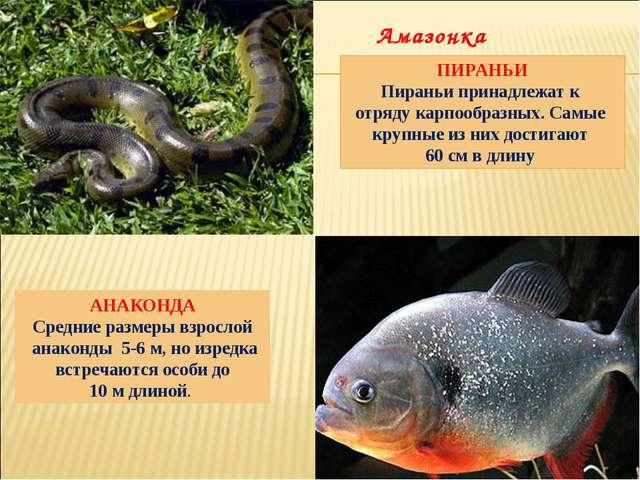 АНАКОНДА Средние размеры взрослой анаконды 5-6 м, но изредка встречаются особ...