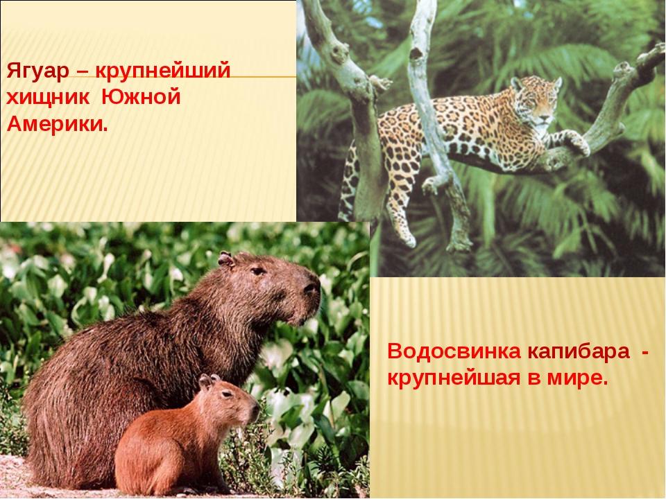 Ягуар – крупнейший хищник Южной Америки. Водосвинка капибара - крупнейшая в м...