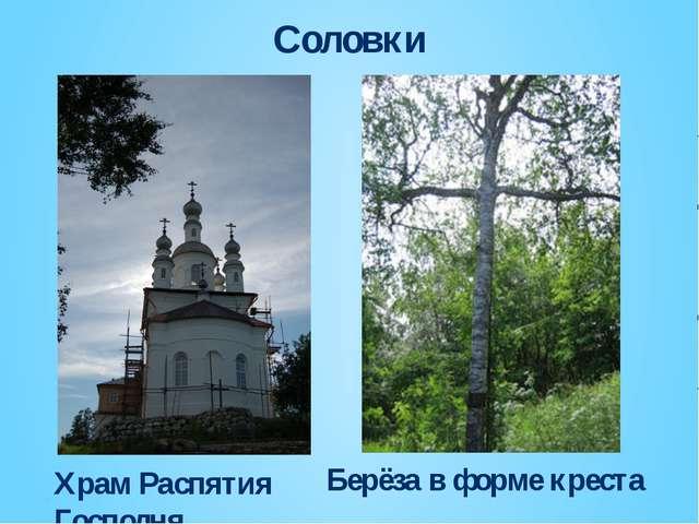 Соловки Храм Распятия Господня Берёза в форме креста