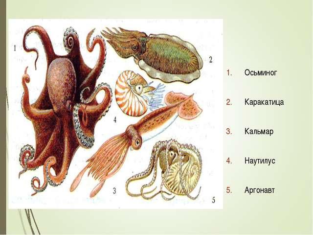 Осьминог Каракатица Кальмар Наутилус Аргонавт