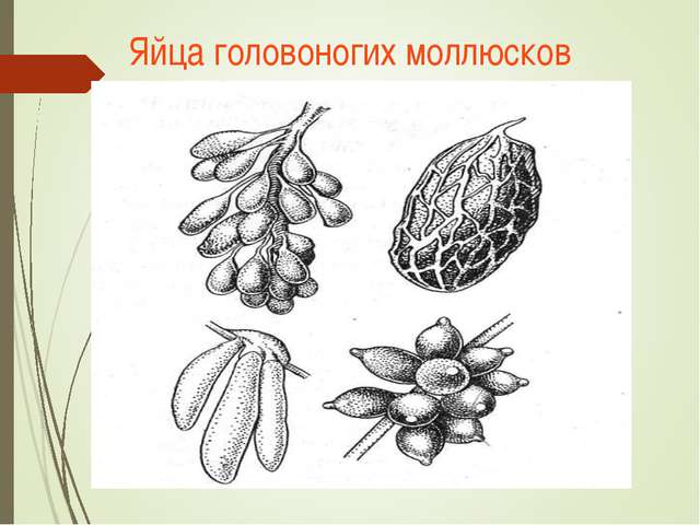 Яйца головоногих моллюсков