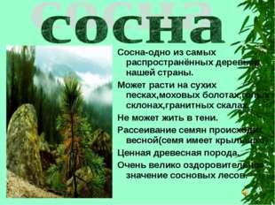 Сосна-одно из самых распространённых деревьев нашей страны. Может расти на су