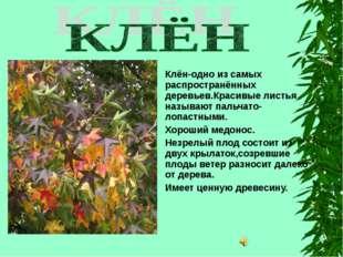 Клён-одно из самых распространённых деревьев.Красивые листья называют пальча