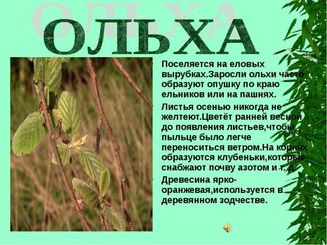 Поселяется на еловых вырубках.Заросли ольхи часто образуют опушку по краю ель...