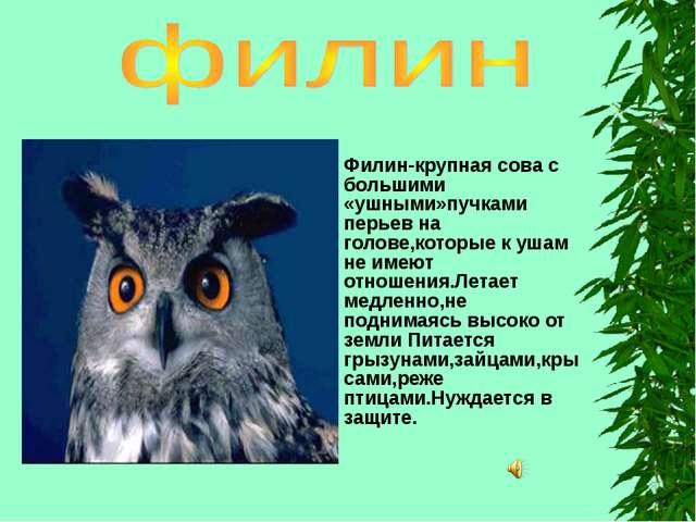 Филин-крупная сова с большими «ушными»пучками перьев на голове,которые к ушам...