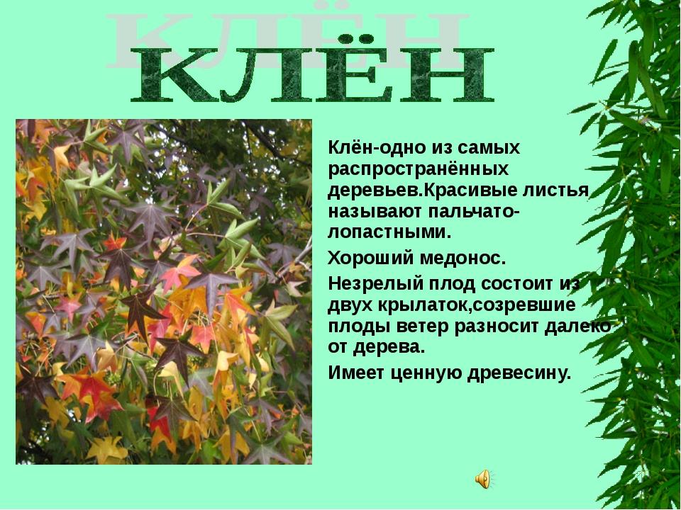 Клён-одно из самых распространённых деревьев.Красивые листья называют пальча...