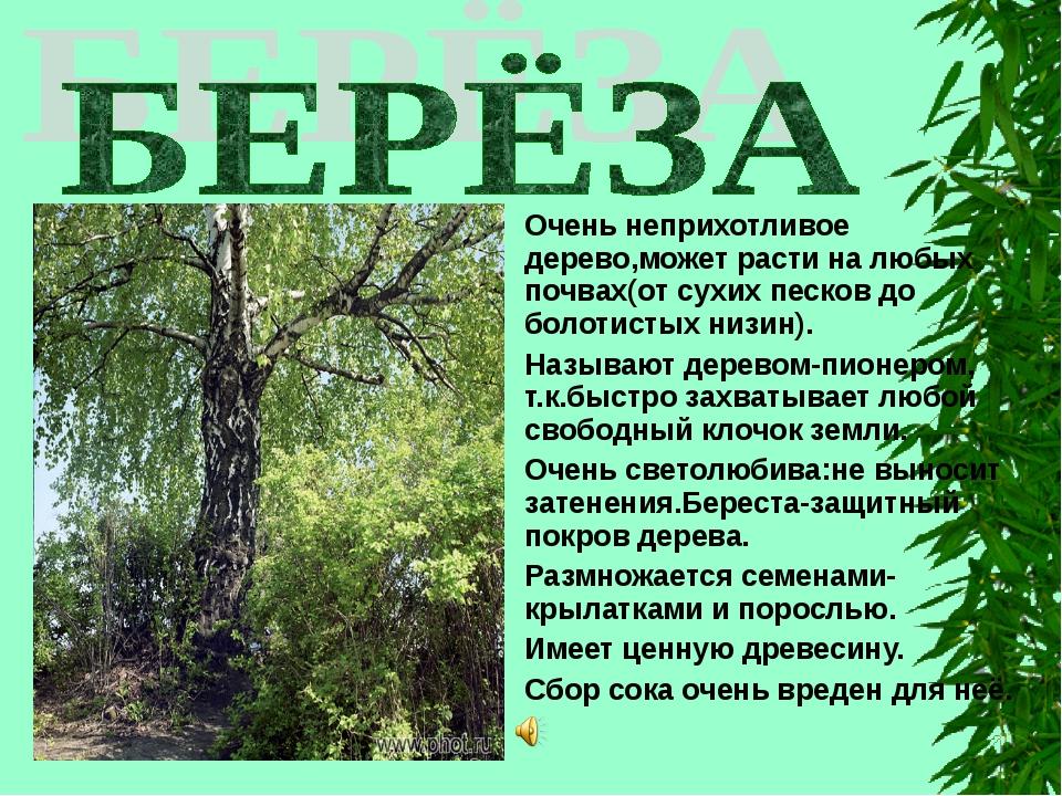 Очень неприхотливое дерево,может расти на любых почвах(от сухих песков до бол...