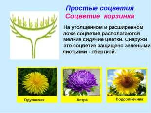 Простые соцветия Соцветие корзинка На утолщенном и расширенном ложе соцветия