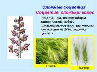 Сложные соцветия Соцветие сложный колос На длинном, тонком общем цветоносном